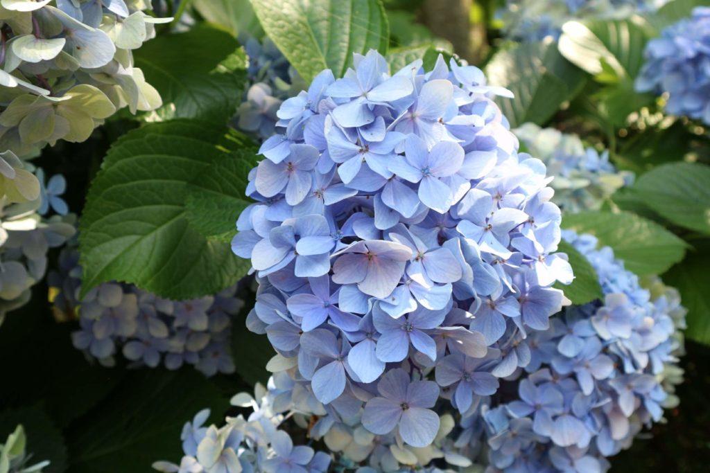 アカオハーブ&ローズガーデンの紫陽花